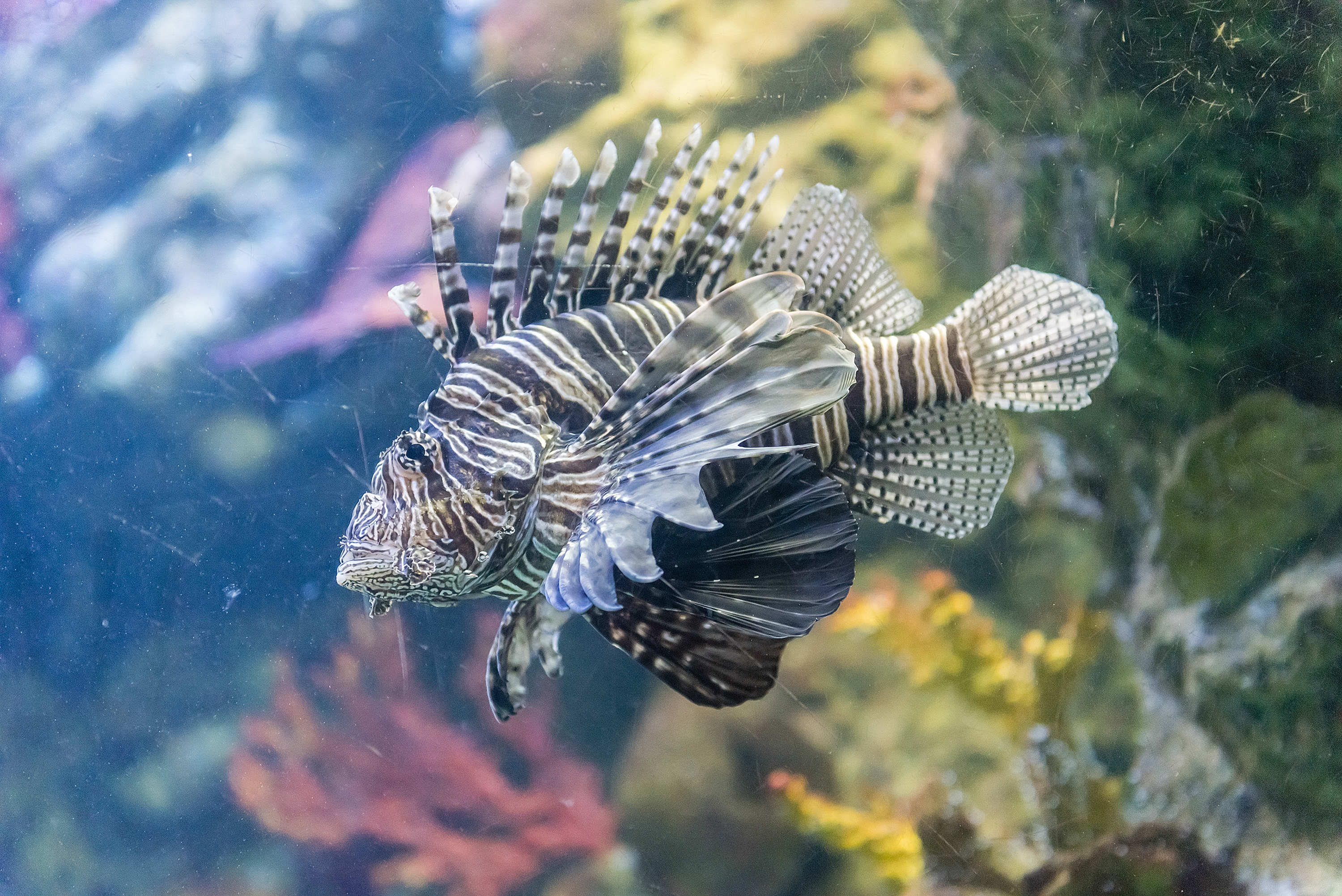 Closeup of a lionfish in aquarium environment