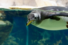 Penguin floating underwater,