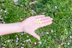 female hand holding 2 daisies