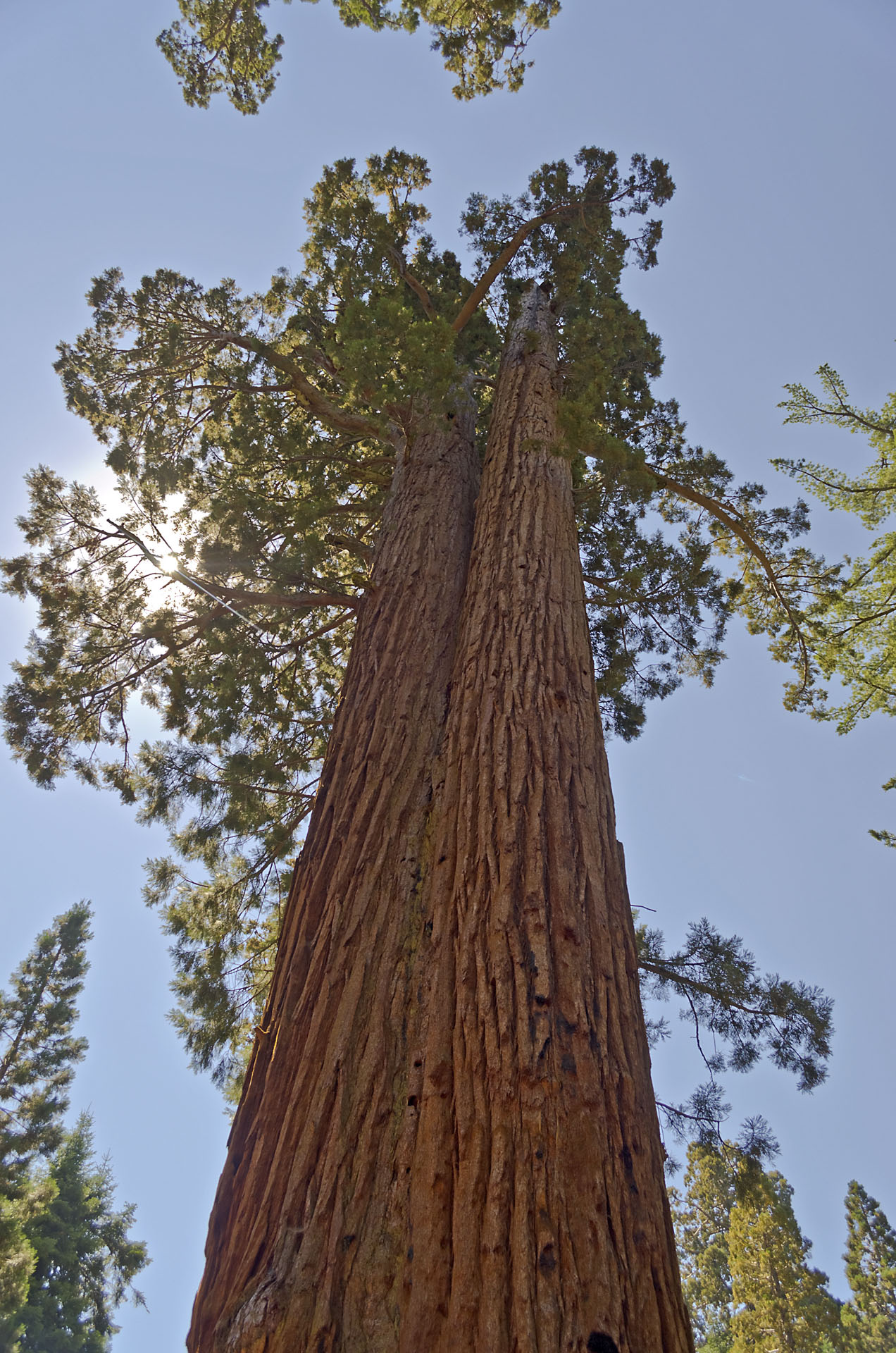Giant Sequoias in Yosemite National Park, USA