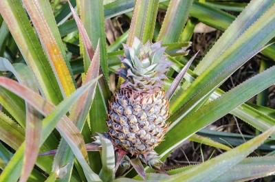Pineapple isolated on a plantation, French Polynesia