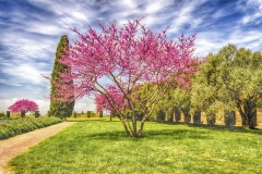 Beautiful garden with flowered cherry trees, cypresses and olive trees
