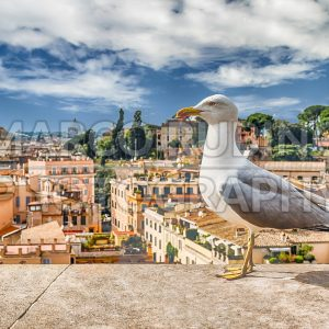 Closeup of a seagull with central Rome as background, Italy
