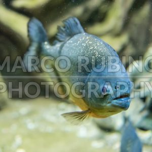 Closeup of a tropical piranha fish underwater in aquarium environment