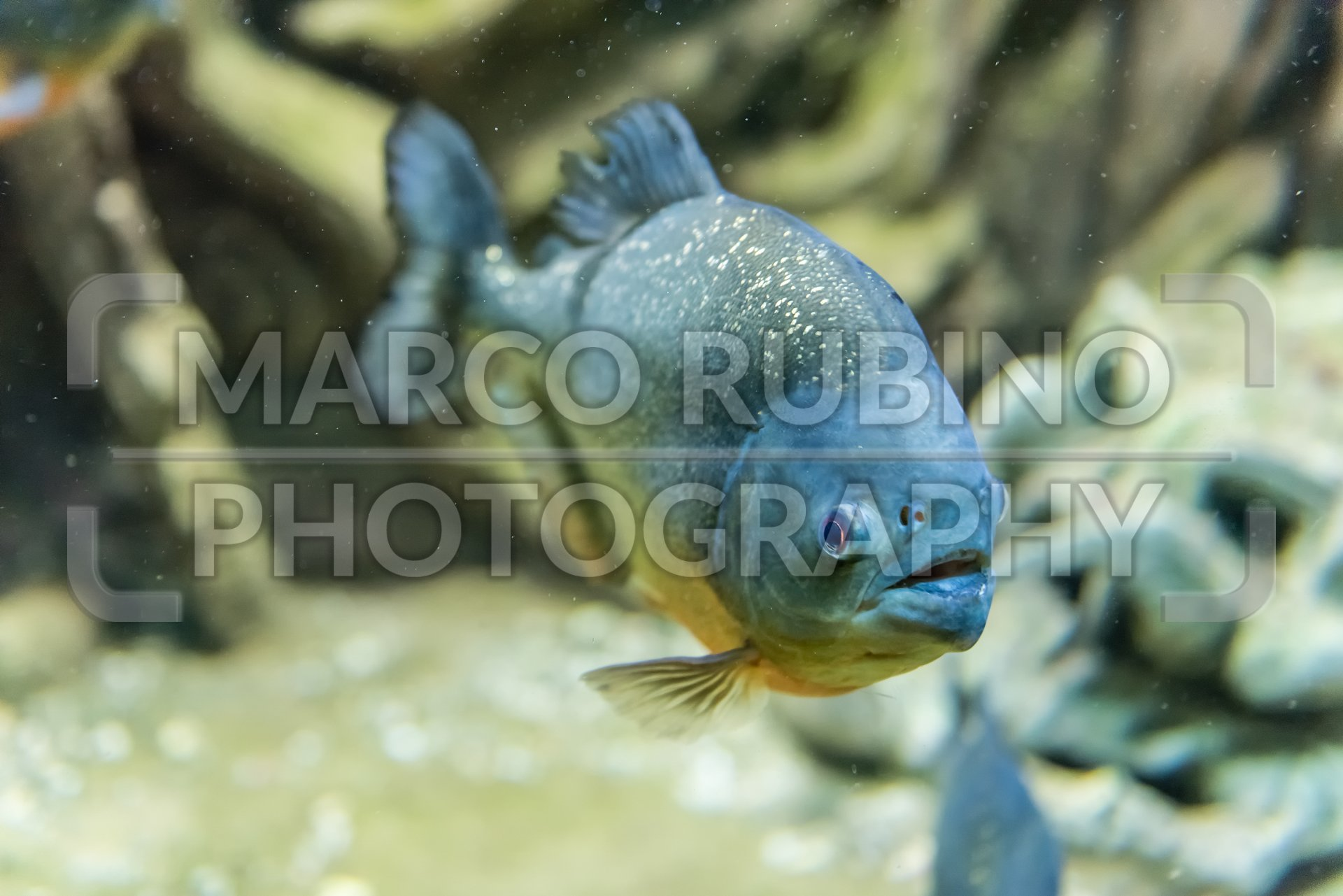 Closeup Of A Tropical Piranha Fish Underwater In Aquarium
