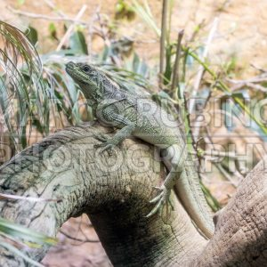 Common green iguana resting on a tree trunk in tropical environment