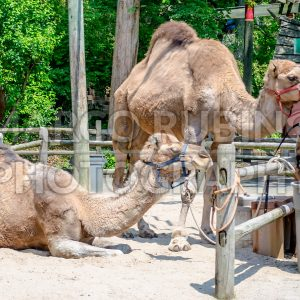 Couple of indian camels having rest