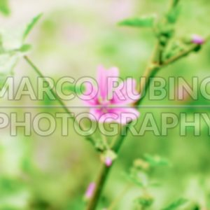 Defocused background of a purple wild flower on a green field