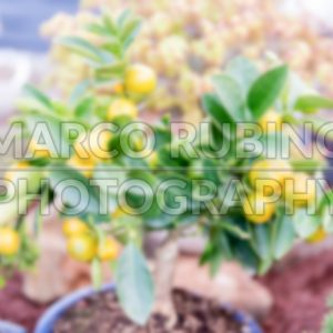 Defocused background of small tangerine tree