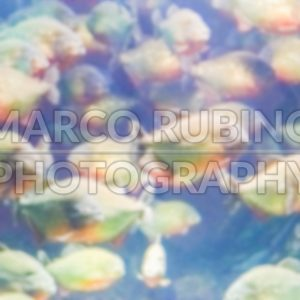 Defocused background with a flock of piranhas