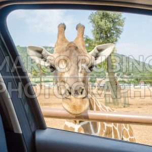 Hungry giraffe waiting for food through a car window