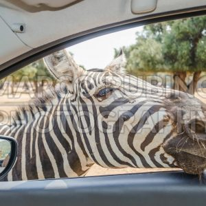 Hungry zebra waiting for food through a car window