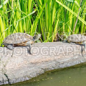 Red-eared Turtles on the rocks in Central Park, New York City, USA
