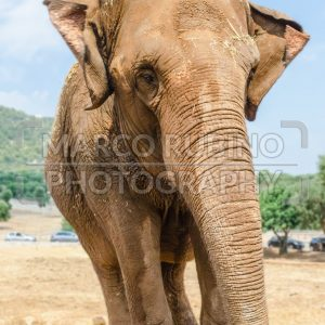 Vertical portrait of an elephant in a zoo