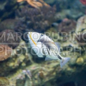 Closeup of a Lagoon Triggerfish in aquarium environment