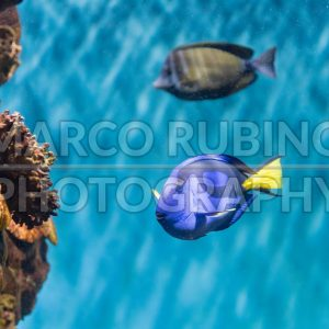 Closeup of a regal blue tang in aquarium environment