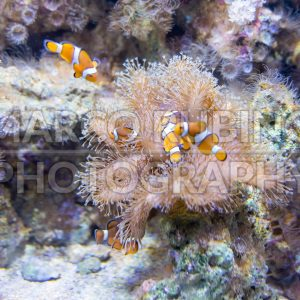 Closeup of clownfishes in aquarium environment