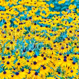 Field of Rudbeckia hirta, aka black-eyed-Susan flowers