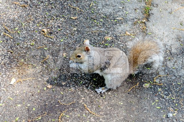 Squirrel eating an acorn in Boston Public Garden, USA Stock Photo