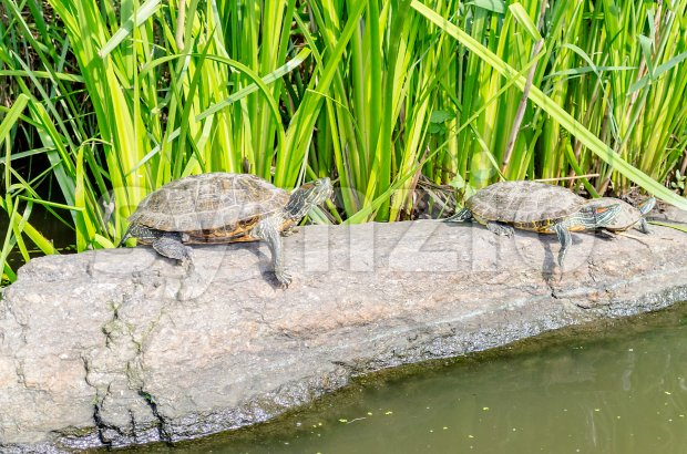 Red-eared Turtles on the rocks in Central Park, New York City, USA Stock Photo