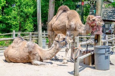 Couple of indian camels having rest Stock Photo