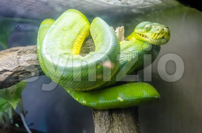 Emerald Tree Boa Stock Photo