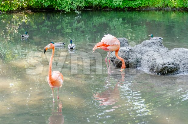 Colorful flamingos bathing Stock Photo