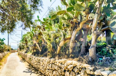 Prickly pear trees in Sicily, Italy Stock Photo