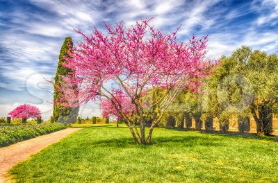 Beautiful garden with flowered cherry trees, cypresses and olive trees Stock Photo