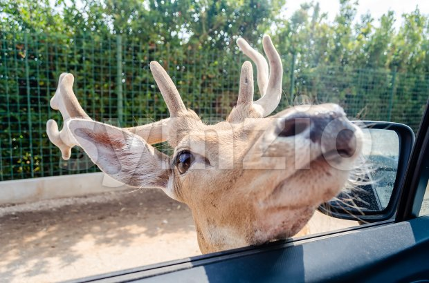 Hungry deer waiting for food through a car window Stock Photo
