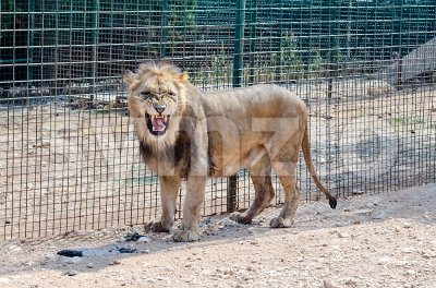 A lion roaring in a zoo Stock Photo