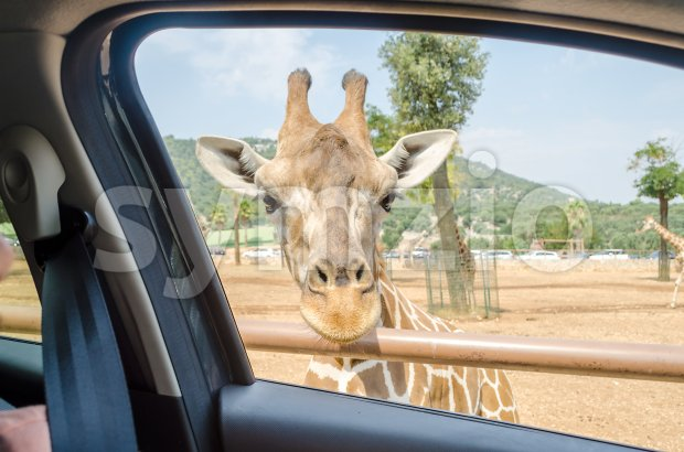 Hungry giraffe waiting for food through a car window Stock Photo