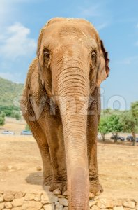 Vertical portrait of an elephant in a zoo Stock Photo