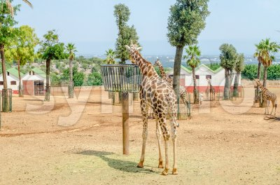 Giraffes eating dried hay at the zoo Stock Photo