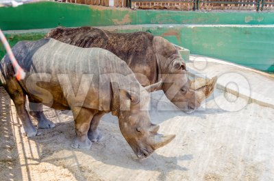 A couple of rhinos waiting for food Stock Photo
