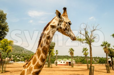Profile of a giraffe in a zoo Stock Photo