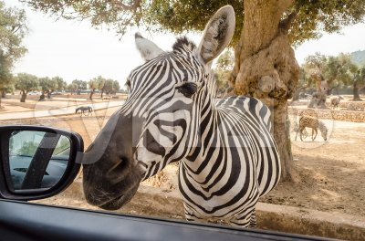 Hungry zebra waiting for food through a car window Stock Photo