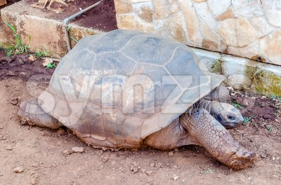 Giant turtle stretching on the ground Stock Photo