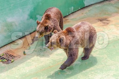 Brown bears waiting for food Stock Photo