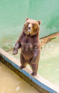 Brown bear waiting for food Stock Photo