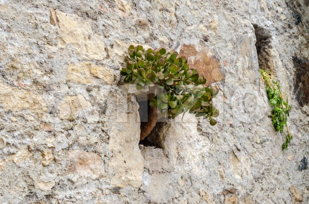 Wild plant growing on a stone wall Stock Photo
