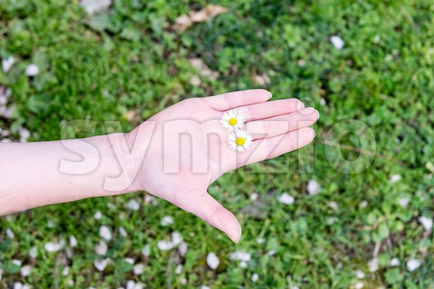 A female hand holding 2 daisies among fingers Stock Photo