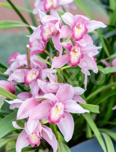 Beautiful pink phalaenopsis orchids Stock Photo
