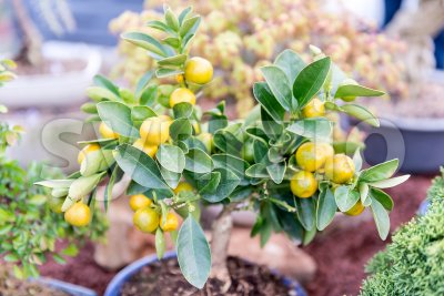 Close up of small tangerine tree, shallow dept of field Stock Photo