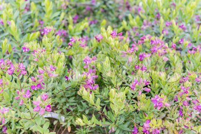 Bushes with green and purple flowers Stock Photo