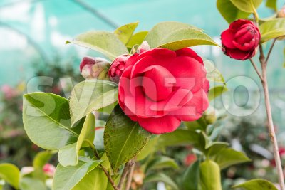 Beautiful red camellia flowers inside a greenhouse Stock Photo