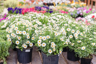 Beautiful daisy flowers in vases Stock Photo