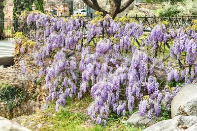 Beautiful purple wisteria flowers in spring Stock Photo