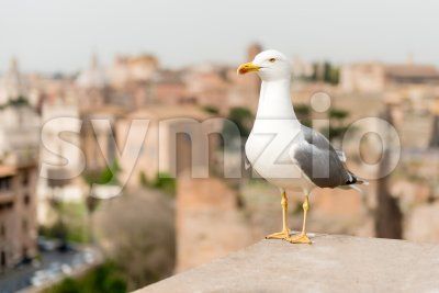Closeup of a seagull with central Rome as background, Italy Stock Photo