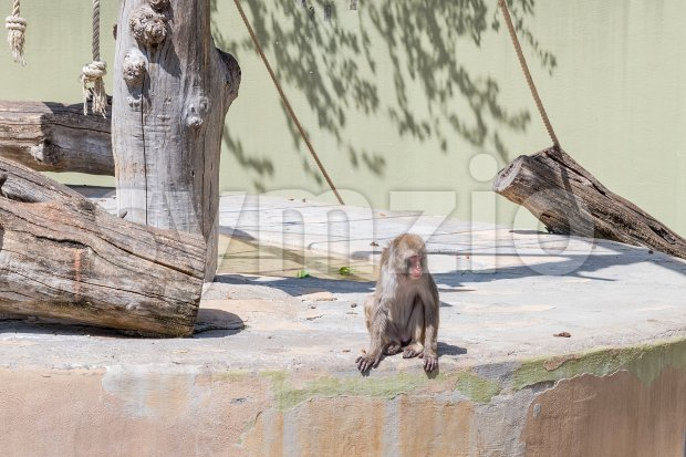 Lonely baboon at the zoo Stock Photo